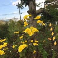 晩秋に目立つ黄色い菊の花