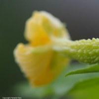 今日の白ゴーヤの雌花は、。。。。