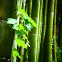 『雨散歩』 竹林