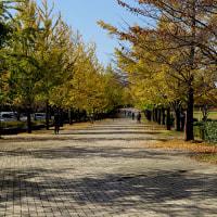埼玉ミューズパークの「銀杏」