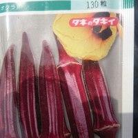 レタス類定植&オクラ、スィートコーン種まき