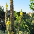 ビロウドモウズイカの花