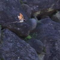 ●金沢城公園 新丸の池 ツバメの飛翔 コガモ コウホネ ミツガシワ 石積み(切石積み、荒加工、自然)