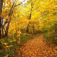 「私の散歩道」の黄葉です !