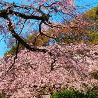 『大磯の桜』 井上邸