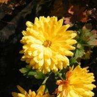 キダチアロエの花と黄色の菊の花