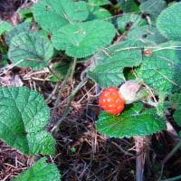 コバノフユイチゴ:小葉の冬苺(小葉より丸葉がわかりよい)