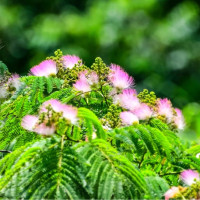 24/Jun 合歓の木の花と紫陽花とアオスジアゲハ