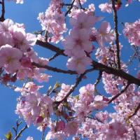 布師田駅南の桜並木です