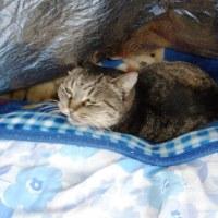 布団の中が好きな猫