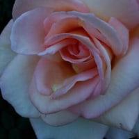 花の香と人込みに浮かれゆるんだ財布のひもが・・。(笑)