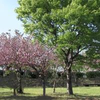 羽根谷だんだん公園の八重桜 その3
