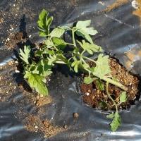 ミニトマト苗の植え付け