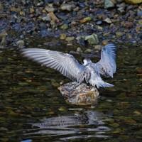 今日の鳥見:ハジロクロハラアジサシの羽繕い