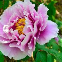 【花・植物写真】ボタン(牡丹)