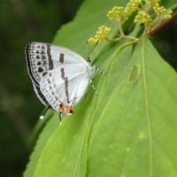 ムラサキシキブの葉にとまるシジミチョウ(ウスイロオナガシジミ??)