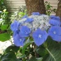 紫陽花3種
