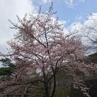 春の日差し~、暖かくなれば~、満開かなー
