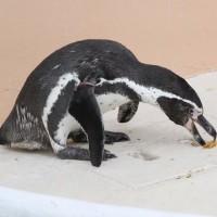 ペンギンの『モテ』アイテム?