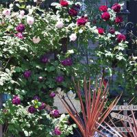 やがては豪華絢爛! これから咲き誇るはずのバラの家・・・富山市水橋