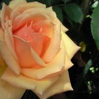 二番目の薔薇が