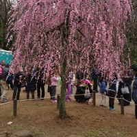 大倉山梅園。
