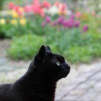 黒猫の庭~チューリップ~