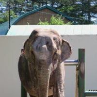 インドゾウのナナさん 北海道唯一のゾウさん 帯広動物園☆