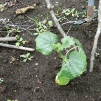 キュウリと落花生の苗を植えました
