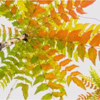 柊(ヒイラギ)の花とメジロ(小鳥)・長居公園。       17・1月20.日