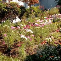 市・総合センター屋上の庭園と我家の吃驚咲き朝顔