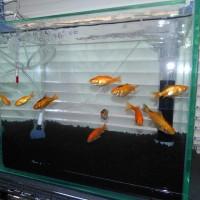 ポリプと金魚