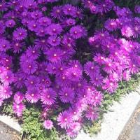 夏は、この花は綺麗なお花で、ドンドン咲き続けます