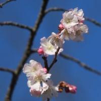 兼六園と十月桜