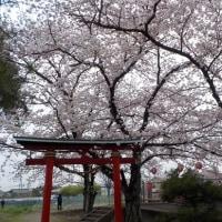 ☆八幡神社の桜が満開になりました☆