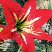 真紅の花弁