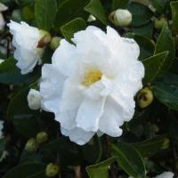 次々と咲く白の山茶花と赤の菊