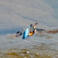 カワセミのダイビング