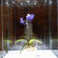 青色のコチョウラン:胡蝶蘭