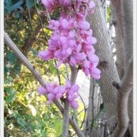 ムラサキシキブの花咲く