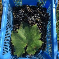 ヤマソービニヨン収穫