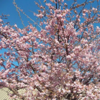 稲取文化公園の桜は満開!