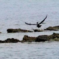 6/28探鳥記録写真(狩尾岬に珍鳥カラシラサギが渡来-1)