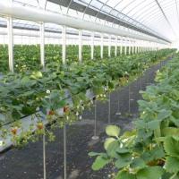 新規就農いちご園「キートス」さん、多々羅区で応援。これも地域活性化の一つ
