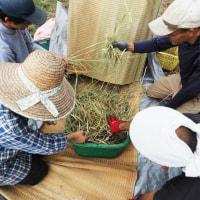 陸稲の脱穀作業