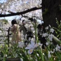 千鳥ヶ淵の桜を見てきました。