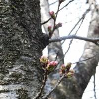 桜の開花宣言の次の日