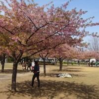 井沼方公園の河津桜