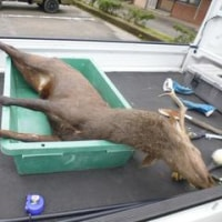10月14日有害鳥獣捕獲「鹿」
