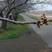 2017 私的桜開花標準木 22